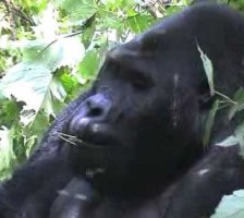 The Gorilla, Chimanuka, feeding on vine leaves Part 1