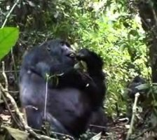 Gorilla Silverback Eating Fruit Part 2