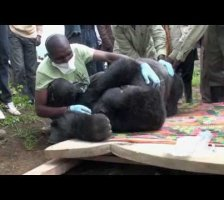 A Silverback Gorilla is Re-Located to the Forest in Virunga National Park, DRC.