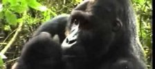 Gorilla Silverback Eating Fruit Part 1