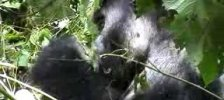 The Gorilla, Chimanuka, feeding on vine leaves Part 2