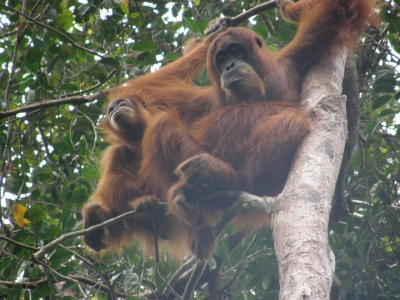 Two more illegal pet orangutans confiscated from Tripa peat swamp forest area, Aceh, Indonesia