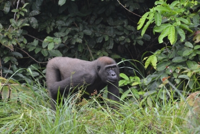 12-year-old Sosa, a habituated gorilla in CAR. He was shot by poachers.