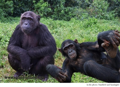 Latest from Ngamba Island Chimpanzee Sanctuary