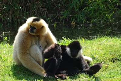 Northern white-cheeked gibbon in Planckendael Zoo, Belgium.