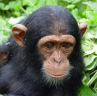 Ngamba Island and the Chimpanzee Sanctuary and Wildlife Conservation Trust
