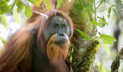 Hydroelectric dam threatens to wipe out world's rarest ape