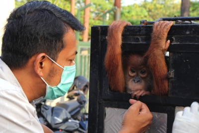 One of two baby orangutans confiscated by authorities from their previous owners who had kept the endangered animals as pets