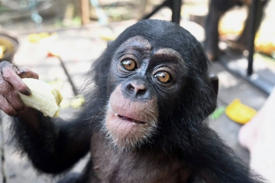 Baby Chimp Rescue- New Documentary about Ape Alliance Member LCRP