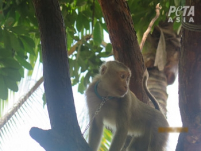 Monkey Labour in the Coconut Industry: PETA Investigates