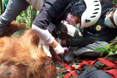 What does finding an injured Tapanuli orangutan mean for their survival?